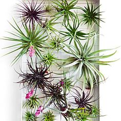 Plant A Picture: Mount one or two air plants (tillandsias) into a frame for a minimalist look, or a bunch to create a dense painting. Just hang the frame in bright filtered light and dunk in water overnight once a week.