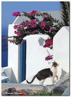 santorini kitty