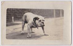 Vintage bulldog photo