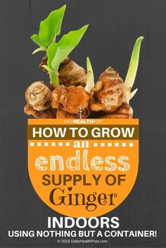 How To Grow An Endless Supply of Ginger Indoors Using Nothing But a Container! via @dailyhealthpost
