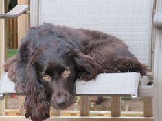 The Longest Living Dog Breeds - Boykin Spaniel ~