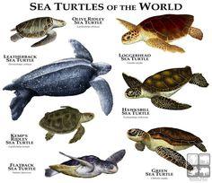 Freshwater Turtles of North America Poster Print Sea Turtle Art, Sea Turtles, Javan Rhinoceros, Sea Turtle Species, Freshwater Turtles, Ocean Creatures, Reptiles And Amphibians, Tortoises, Animals Of The World