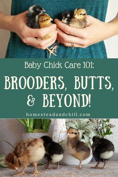 Read along to learn everything you need to know to give new baby chicks the proper care they need including tips for arrival day food and water brooder set-up temperatures cleaning bonding and health risks! Raising Backyard Chickens, Baby Chickens, Keeping Chickens, Backyard Farming, Chicken Garden, Chicken Life, Backyard Chicken Coops, Chicken Runs, Diy Chicken Coop Plans