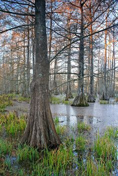 LAKE MARTIN....a wildlife preserve and one of Louisiana's swamplands located in Breaux Bridge in St. Martin Parish....around 9,500 acres of cypress-and-tupelo swamp....also a bottomland hardwood forest habitat....supports large numbers of species of nesting water birds, including the great blue heron, great egret, snowy egret, white ibis, roseate spoonbill