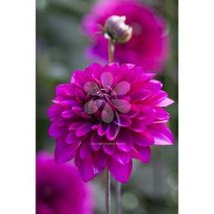 My current number one favourite dahlia – early and long to flower, with ebony stems and leaves contrasting beautifully with luscious purple flowers.