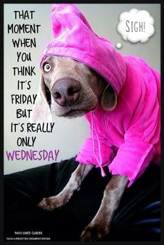 weimaraner images, image search, & inspiration to browse every day. Weimaraner, Vizsla, I Love Dogs, Puppy Love, Cute Dogs, Funny Dogs, Funny Animals, Cute Animals, Wednesday Humor