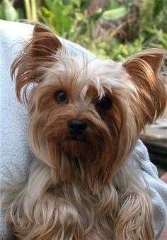 this yorkie looks like my dolly!! only with longer hair.  so sweet:)
