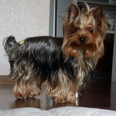 #요크셔테리어 #요키 #puppy #강아지 #YorkshireTerrier #Terrier #산책 #소형견 #애견 #dog #꼬야