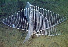 ※ カリフォルニア沖、水深3300メートルの海底から、新種の肉食の海綿生物が発見された。その形状は複数にわかれた根のような部分から、放射状にハープの玄のような枝が生えており、この枝を使って罠をしかけ、先端についたフックを使って小さな甲殻類を捕食するとい