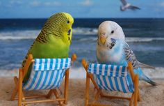 Common mistakes and pet bird diet. Find out what to feed your pet bird! http://www.animalmayhem.com/common-mistakes-made-with-pet-birds-and-the-proper-diet-for-a-pet-bird/
