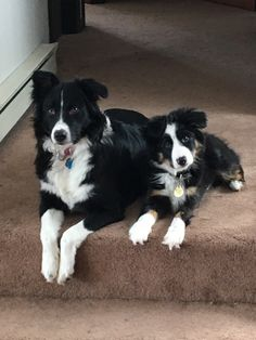 Australian shepherds boy and girl