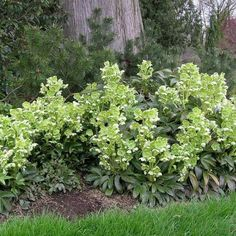 Helleborus argutifolius ( corsicus) - The Corsican Hellebore Garden Cafe, Garden Pots, Johnstown Garden Centre, April April, Norfolk House, Bell Gardens, Planting Plan, Herbaceous Perennials, Bulb Flowers