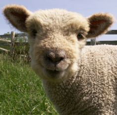 Olde English Babydoll Southdown Sheep - a heritage breed that stays 17 to 24 inches at the shoulder and is sweet-tempered. Mini-sheep!