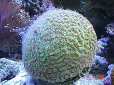 15 Easy Saltwater Aquarium Reef Corals: Honeycomb, Star, Wreath and Moon (Goniastrea) Corals