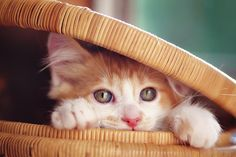 Orange And White Kitten In Basket Photograph