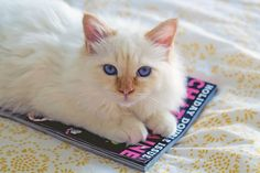 red point birman six months old