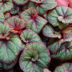 Curly Fireflush Begonia (Begonia rex Curly Fireflush) at Wayside Gardens