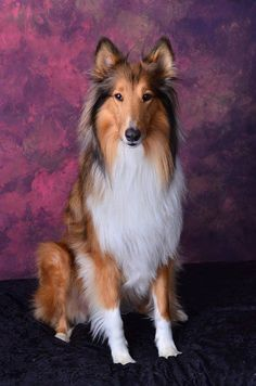 Lilly, collie with old fashioned looks