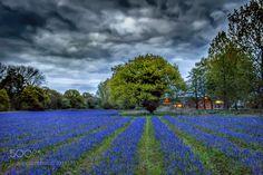 Bluebell woods. by ashleytaylor1987 via http://ift.tt/2qug1kj