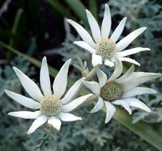 Flannel flowers Flax Flowers, Flowers Nature, White Flowers, Beautiful Flowers, Beautiful Bouquets, Australian Wildflowers, Australian Native Flowers, Australian Plants, Australian Art