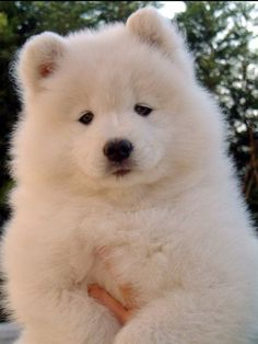 Samoyed Puppy. I need this dog!