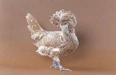 belas galinhas