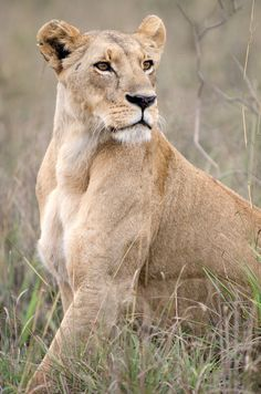 Powerful Lioness in Kenya // Brad Francis on Flickr