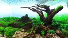"The title says it all. ""Old Tree"" Polish aquascaper Pawel Iglewski designed this tank around an old tree, using plants like flame moss, Java moss and R..."
