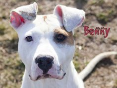 Benny is an adoptable Pit Bull Terrier Dog in Indianapolis, IN.  Benny is a lover. He wants to be number one in your world. He is interested in other dogs (play bows to puppies outside in kennels near...