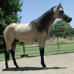 Gaited Buckskin Missouri Foxtrotter Stallion