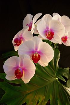 Delicate Beauty Phalaenopsis Orchid - Pink in grace, White in innocence Celebrating refinement and pure affection. A natural beauty The Phalaenopsis Orchid is truly charming and embraces a delicate beauty.