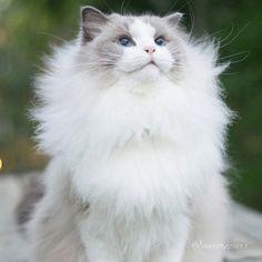 fluffy aurora cat