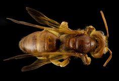 Andrena oman, f, oman, back_2014-10-11-16.09.57 ZS PMax