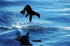 Sea Lion Leap