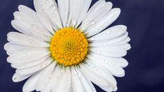 Flower in my garden. Le printemps approche, les beaux jours aussi... Follow me on: https://www.facebook.com/davpare34