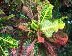 FlowerL_Croton
