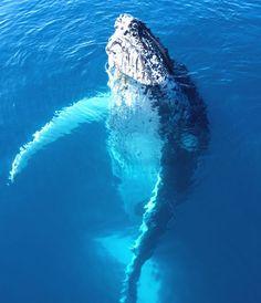 Majestic Humpback Whale