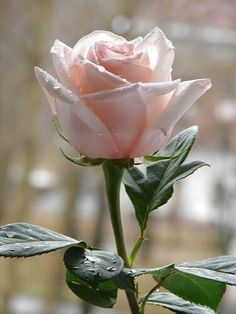 best hybrid tea roses for cutting Flowers Nature, My Flower, Pretty Flowers, Pink Flowers, Rosa Rose, Hybrid Tea Roses, Flower Wallpaper, Flower Photos, Flower Images