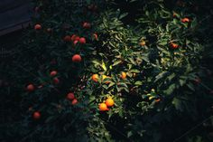 Oranges trees. by EkaterinaPlanina on @creativemarket