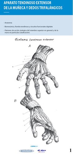 Aparato Tendinoso Extensor de la Muñeca y DedosTrifalángicos  #AnatomiadelaMano #Cirugia #AZMedica #Ortopedia #Traumatologia