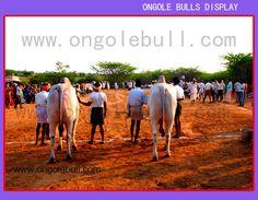 Ongole Bulls Display At Ambapuram Village:: OngoleBull ::