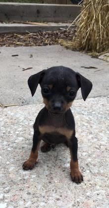 Petango.com – Meet Fritz, a 2 months 7 days Chihuahua, Short Coat / Dachshund, Miniature Smooth Haired available for adoption in COLORADO SPRINGS, CO