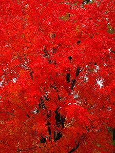 Red maple. best in show!