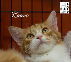 Reese is an adoptable Domestic Long Hair searching for a forever family near Albuquerque, NM. Use Petfinder to find adoptable pets in your area.