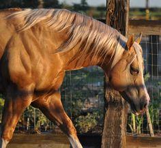 Powerful Legacy Andalusian Horse, Friesian Horse, Arabian Horses, Appaloosa, Palomino, American Quarter Horse, Quarter Horses, Equine Photography, Animal Photography