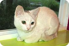 Vacaville, CA - Domestic Shorthair. Meet Calli a Kitten for Adoption.