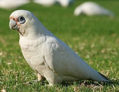 The bare-eyed cockatoo (little corella) is a smaller cockatoo with a big personality. One of the best cockatoo talkers, this bird needs a lot of attention. Cockatiel, Budgies, Australian Parrots, Easy Pets, Colorful Parrots, Australia Animals, Wild Creatures, Tropical Birds, All Birds