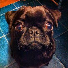 I heart pugs. Pugstagr.am