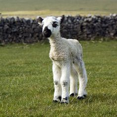 Peak Forest England lamb