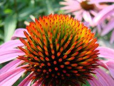 23 plantas geométricas de arrepiar os fissurados em simetria e padrões - Echinacea
